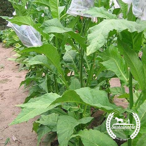 Mostrenco Tobacco Seeds