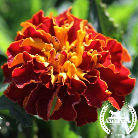 French Marigold Naughty Marietta Flower Seeds