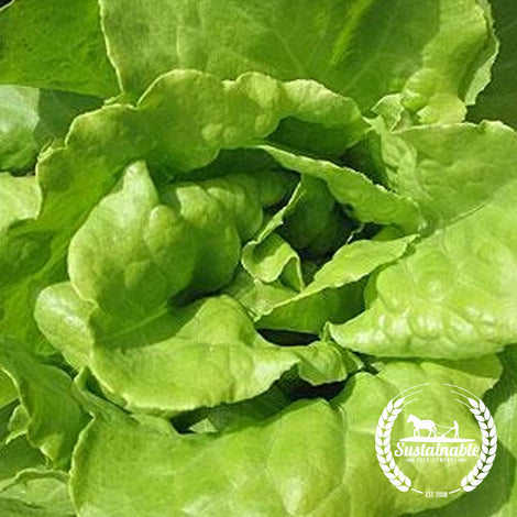 Northern Queen Lettuce Seeds