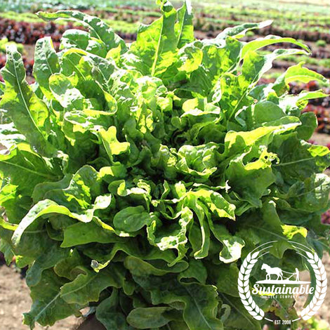 Oakleaf Royal Lettuce Seeds