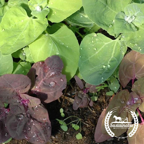Organic Aurora Mountain Spinach Garden Seeds