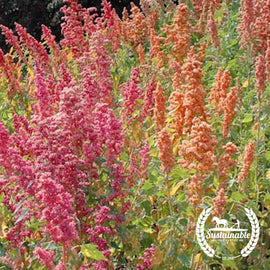 Organic Brightest Brilliant Rainbow Quinoa Grain Seeds