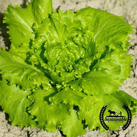 Organic Cal Sweet Lettuce Seeds - Non-GMO