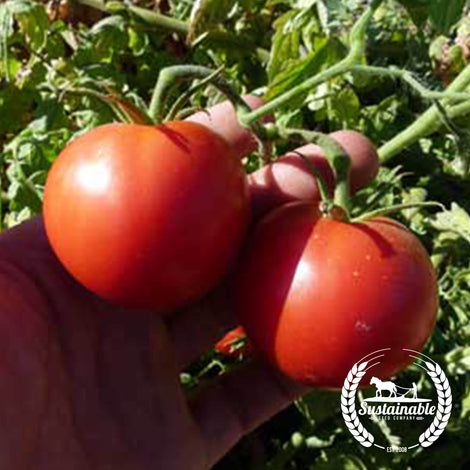 Organic Chalk's Early Jewel Tomato Seeds
