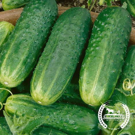 Organic County Fair Improved Hybrid Cucumber Seeds