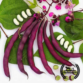 Organic Dow Purple Pod Pole Bean Seeds