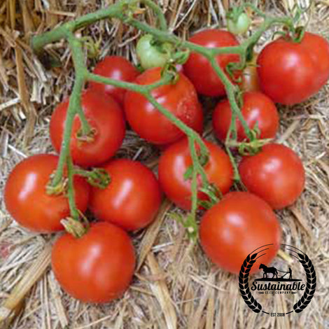 Organic Enterprise Tomato Seeds