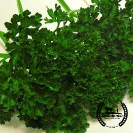 Organic Evergreen Parsley Herb Seeds