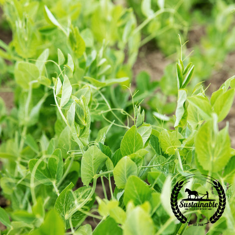 Organic Frostmaster Peas Seeds - Non-GMO