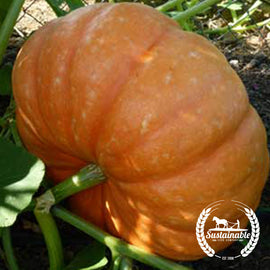 Organic Hopi Orange squash Seeds