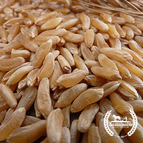 Organic Kamut style Wheat Grain Seeds