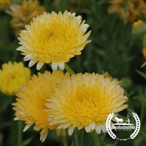 Organic Lemon Pastel Calendula Flower Seeds