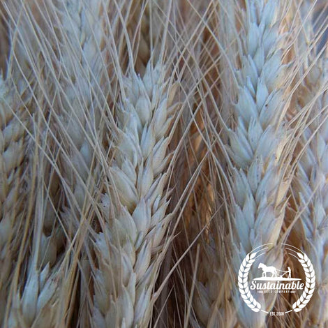 Organic Lewjain Wheat Seeds