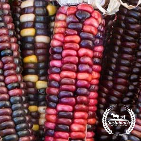 Organic Painted Mountain Corn Seeds