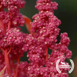 Organic Red Head Quinoa Grain Seeds
