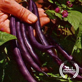 Organic Royalty Purple Pod Bush Bean Seeds - Non-GMO