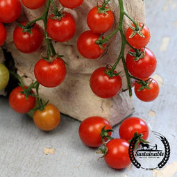 Organic Sugar Cherry Tomato Seeds