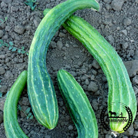 Organic Suyo Long Cucumber Seeds
