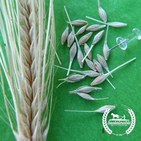 Organic Texas Winter Barley Grain Seeds