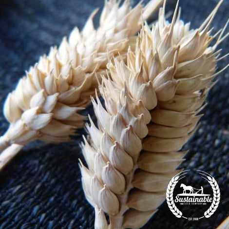 Organic Tres Wheat Seeds