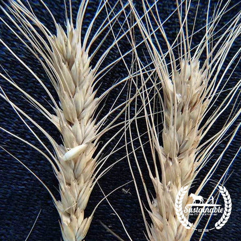 Organic Winter Alaska Wheat Grain Seeds