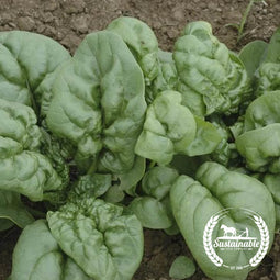 Organic Winter Bloomsdale Spinach Seeds
