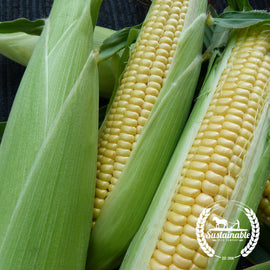 Original 8-row Golden Bantam Corn Seeds
