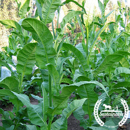 Orinoco Tobacco Seeds