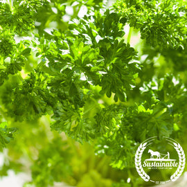 Organic Forest Green Parsley Herb Seeds