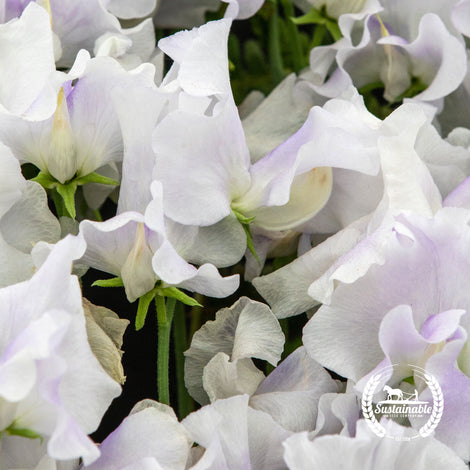 Organic Albutt Blue Sweet Pea Flower Seeds