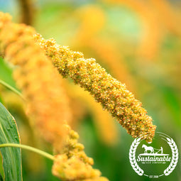 Hybrid Pearl Millet Seeds - Non-GMO