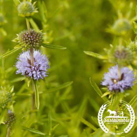 Pennyroyal Herb Seeds - Non-GMO