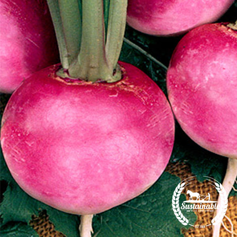 Pink Beauty Radish Seeds - Non-GMO