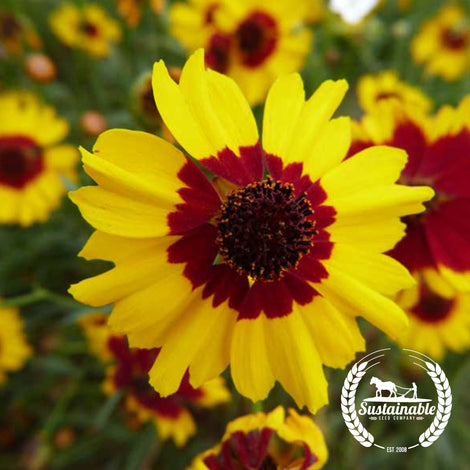 Plains Coreopsis Flower Seeds - Non-GMO