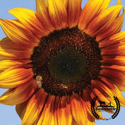 Pollinator Mix - Sweet Sunflowers Seeds - Non-GMO