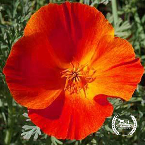 California Poppy Mikado Red Flower Seeds