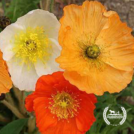 Iceland Poppy Flower Seeds