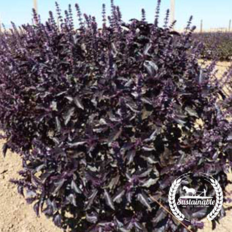 Basil, Purple Dark Opal Seeds