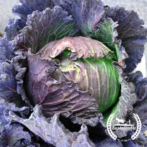 Purple Savoy Cabbage Heirloom Seeds Vegetable Seeds Sustainable Seed Sustainable Seed Company