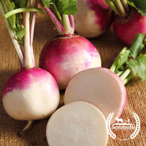 Organic Purple Top White Globe Turnip Seeds