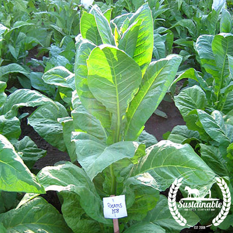 Reams 158 Tobacco Seeds - Non-GMO