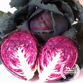 Red Acre Cabbage Seeds - Non-GMO