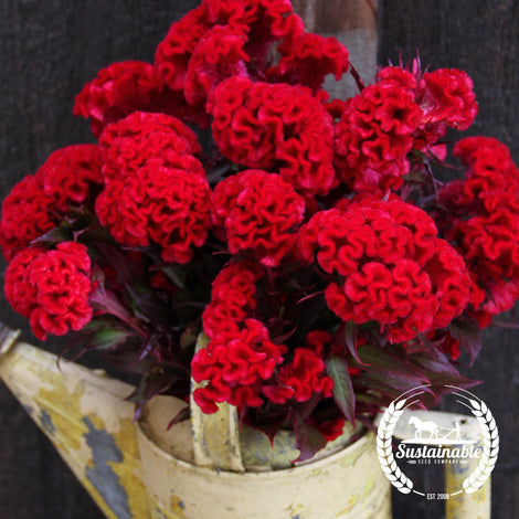 Organic Red Flame Celosia Seeds - Non-GMO