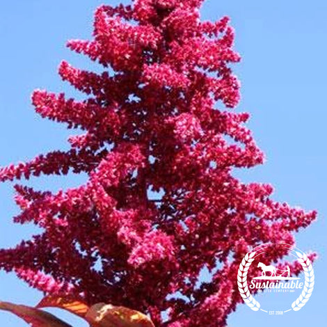 Red Garnet Amaranth Seeds - Non-GMO