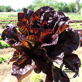 Red Romaine Lettuce Seeds - Non-GMO