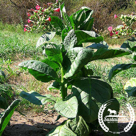 Red Russian Tobacco Seeds - Non-GMO