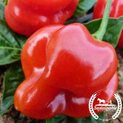 Red Scotch Bonnet Pepper Seeds - Non-GMO