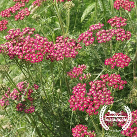 Red Yarrow Herb Seeds