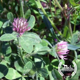 Rose Clover Seeds - Non-GMO