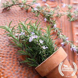 Rosemary Herb Seeds - Non-GMO